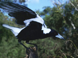 Spring is the Season for Swooping Magpies